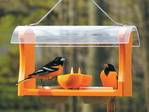 orioles at feeder