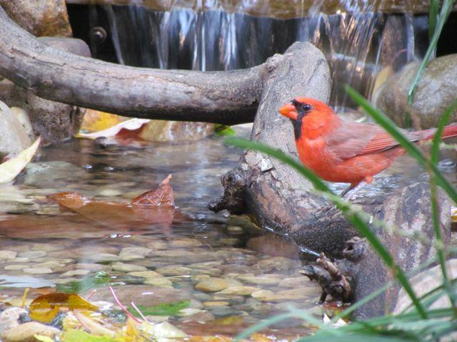 cardinal at my water feature